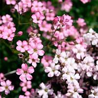 Гипсофила розовая корневище
