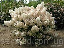 "Гортензия метельчатая "" Бобо"" \ Hydrangea paniculata Bobo ( саженцы 3 года ), фото 3"