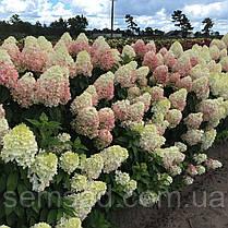 "Гортензия метельчатая ""Мэджик Свит Саммэр"" \Hydrangea paniculata Magical Sweet Summ ( саженцы 1 год ), фото 3"