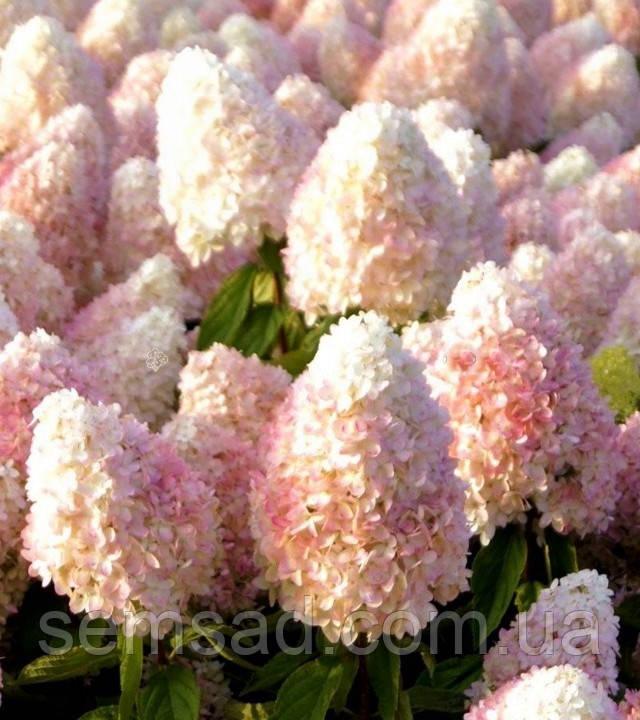 "Гортензия метельчатая ""Мэджик Свит Саммэр"" \Hydrangea paniculata Magical Sweet Summ ( саженцы 1 год )"