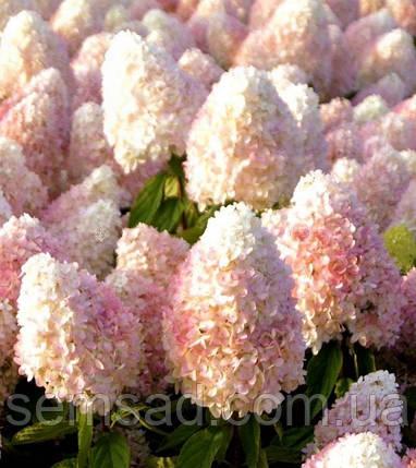 "Гортензия метельчатая ""Мэджик Свит Саммэр"" \Hydrangea paniculata Magical Sweet Summ ( саженцы 1 год ), фото 2"