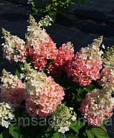 Гортензия метельчатая Бэби Лэйс \ Hydrangea paniculata Baby Lace ( саженцы 2 года)