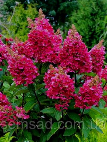 Гортензия метельчатая Вимс Ред  \ Hydrangea paniculata Wim's Red ( саженцы 2 года )