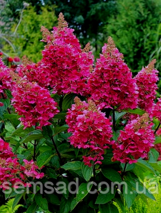 Гортензия метельчатая Вимс Ред  \ Hydrangea paniculata Wim's Red ( саженцы 2 года ), фото 2