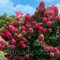Гортензия метельчатая Вимс Ред  \ Hydrangea paniculata Wim's Red ( саженцы 2 года ), фото 3
