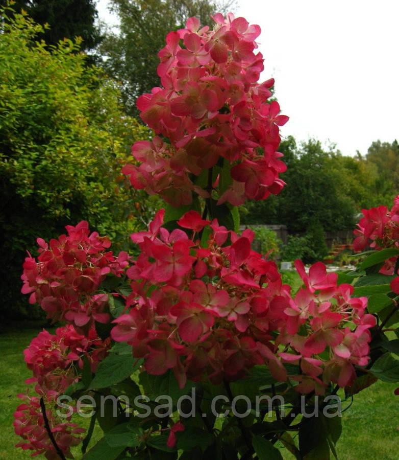 """Гортензія волотиста """"Пінк Діамант"""" \ Hydrangea paniculata Pink Diamond ( саджанці 1 рік )"""