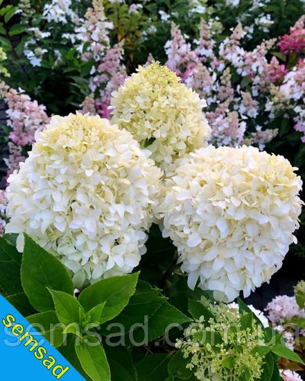 Гортензия метельчатая Ливинг Саммер Сноу  \ Hydrangea living summer snow ( саженцы 2 года) Новинка