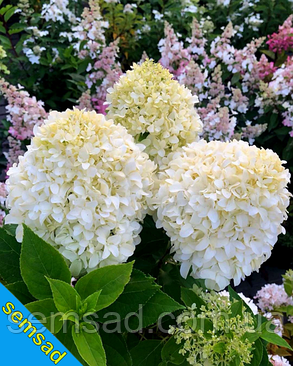 Гортензия метельчатая Ливинг Саммер Сноу  \ Hydrangea living summer snow ( саженцы 2 года) Новинка, фото 2