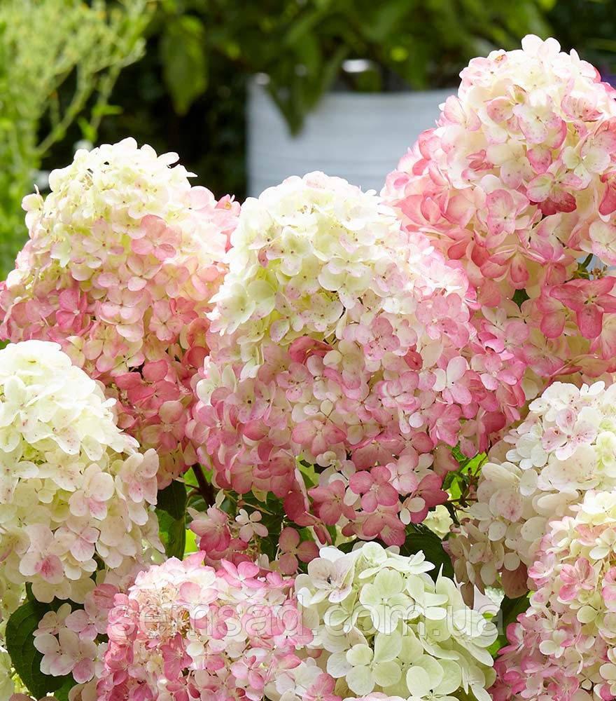 Гортензия метельчатая Саммер Лав \ Hydrangea paniculata Summer love ( саженцы 2 года) Новинка