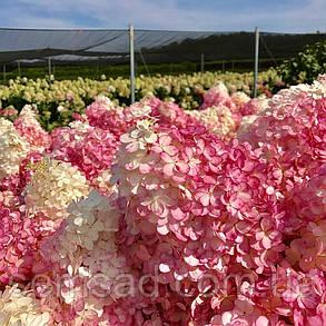 Гортензия метельчатая Саммер Лав \ Hydrangea paniculata Summer love ( саженцы 2 года) Новинка, фото 2