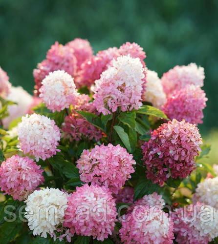 Гортензия метельчатая Тач оф Пинк \ Hydrangea paniculata Touch of Pink ( саженцы 2 года) Новинка