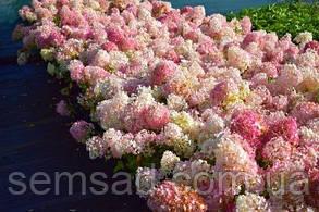 Гортензия метельчатая Тач оф Пинк \ Hydrangea paniculata Touch of Pink ( саженцы 2 года) Новинка, фото 2