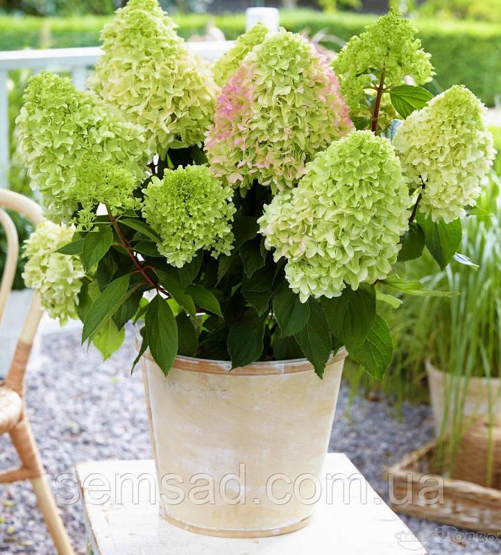 Гортензия метельчатая Литл Фрайз \ Hydrangea paniculata LITTLE FRAISE ( саженцы 2 года) Новинка
