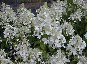 Гортензия метельчатая Брассел Лэйс  \ Hydrangea 'Brussels Lace' ( саженцы 2 года) Новинка, фото 3