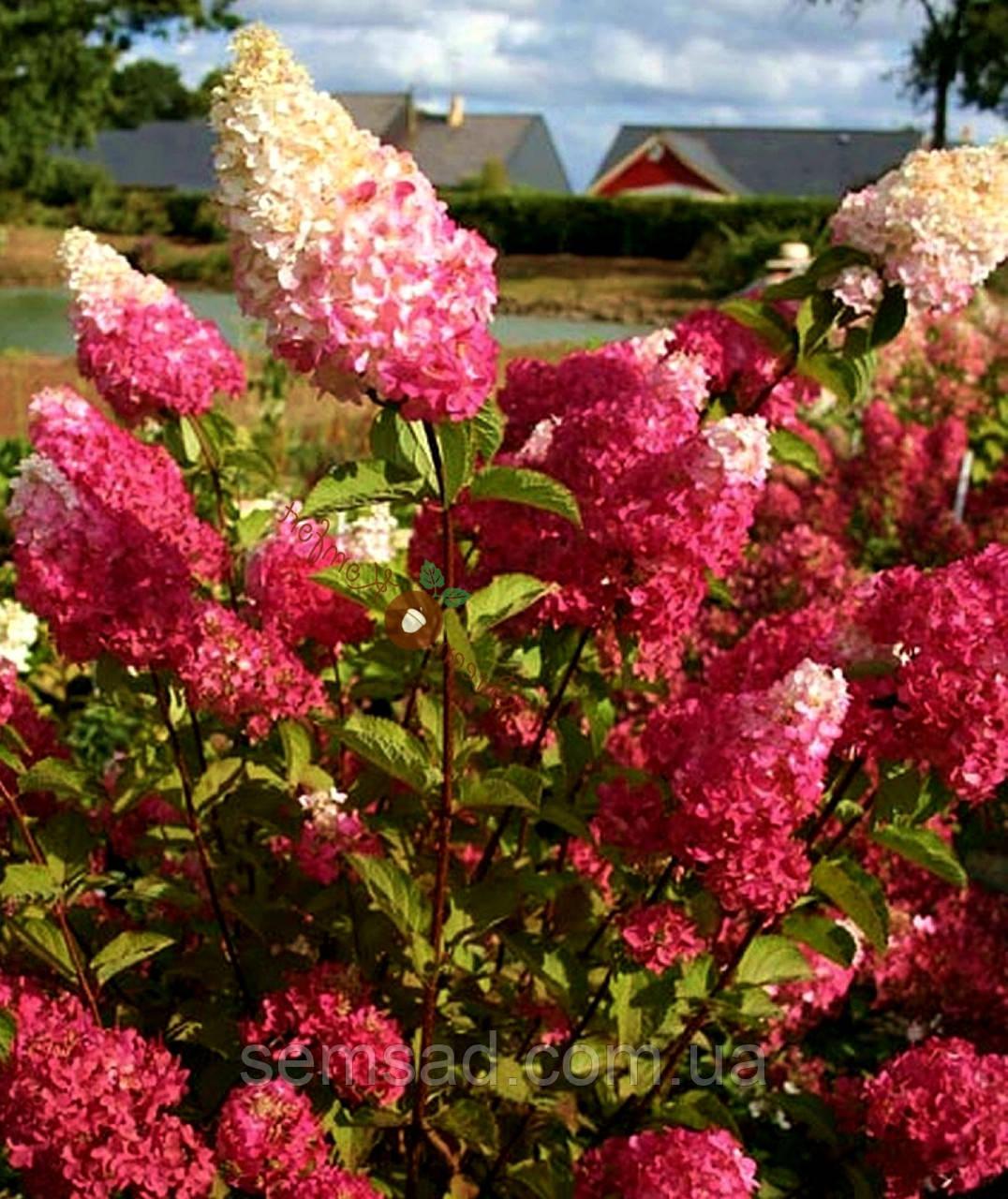 Гортензия метельчатая Фрайз Мельба \ Hydrangea paniculata Hydrangea  Fraise Melba ( саженцы 2 год)