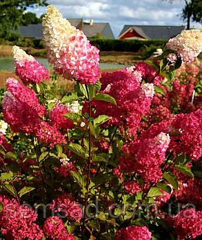 Гортензия метельчатая Фрайз Мельба \ Hydrangea paniculata Hydrangea  Fraise Melba ( саженцы 2 год), фото 2
