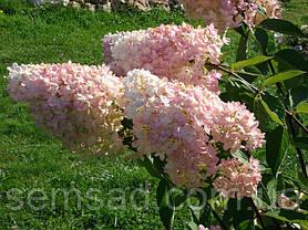 Гортензія волотиста Грандифлора \ Hydrangea paniculata Grandiflora ( саджанці 2 рік), фото 2