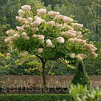 Гортензія волотиста Грандифлора \ Hydrangea paniculata Grandiflora ( саджанці 2 рік), фото 3