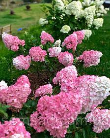 "Гортензия метельчатая"" Сандей фрейзи \  Hydrangea paniculata «Sundae Fraise»( саженцы 2 год)"