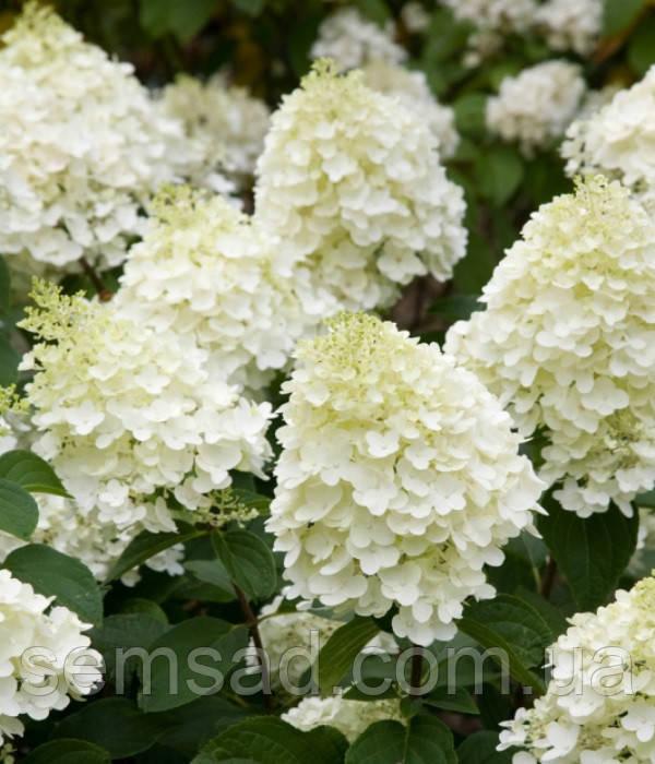 Гортензия метельчатая  Сильвер Доллар \ Hydrangea paniculata `Silver Dollar`( саженцы  2 год)