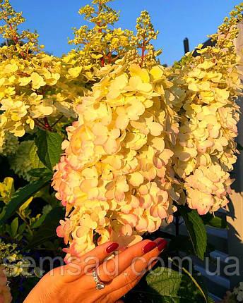 Гортензия метельчатая Кендлилайт \Hydrangea Candlelight ( саженцы 2 года ), фото 2