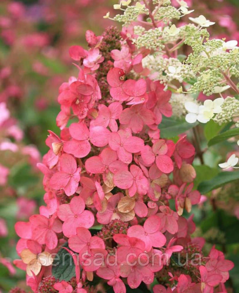 """Гортензия метельчатая """" Пинк Даймонд""""  \ Hydrangea paniculata 'Pink Diamond' ( саженцы 2 года)"""