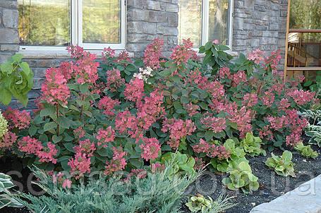 """Гортензия метельчатая """" Пинк Даймонд""""  \ Hydrangea paniculata 'Pink Diamond' ( саженцы 2 года), фото 2"""