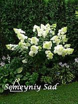 "Гортензия Метельчатая Лайм Лайт\ hydrangea paniculata "" Limeligh  ( саженцы 2 года ), фото 3"
