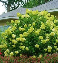 "Гортензия Метельчатая Лайм Лайт\ hydrangea paniculata "" Limeligh  ( саженцы 2 года ), фото 2"