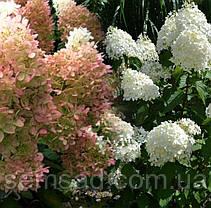 Гортензия метельчатая Фантом \ Hydrangea paniculata Phantom ( саженцы 2 года ), фото 2