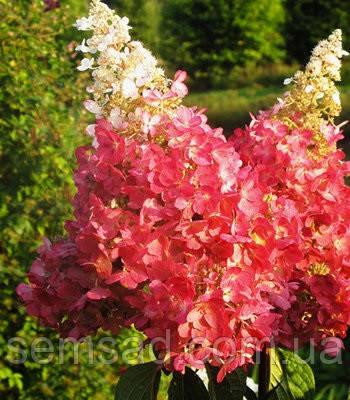 Гортензия метельчатая Пинки Винки \ Hydrangea paniculata Pinky Winky ( саженцы 2 год)