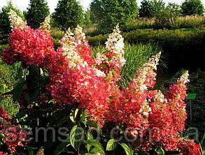 Гортензия метельчатая Пинки Винки \ Hydrangea paniculata Pinky Winky ( саженцы 2 год), фото 2
