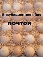 Инкубационное яйцо бройлера КОББ 500 с Европы