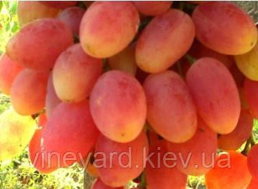 Саженцы винограда Ксения, столового розового очень раннего