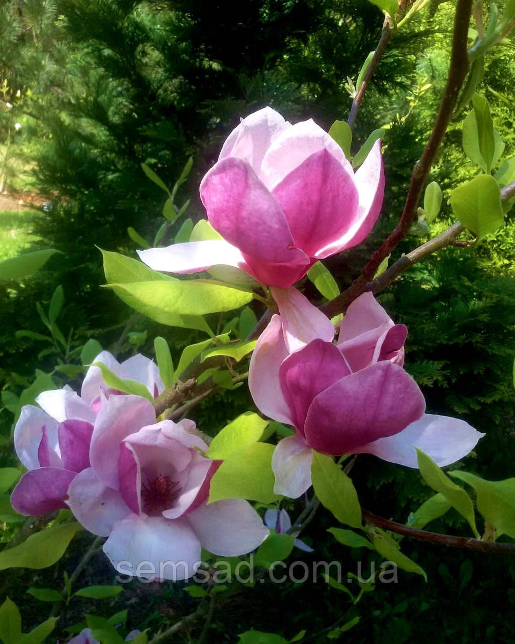 Магнолия суланжа Вербаника \ Magnolia soulangiana Verbanica  ( саженцы 2 года)