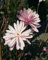 Магнолия звездная Розеа  \ Magnolia Stellata Rosea  ( саженцы 2 года), фото 3