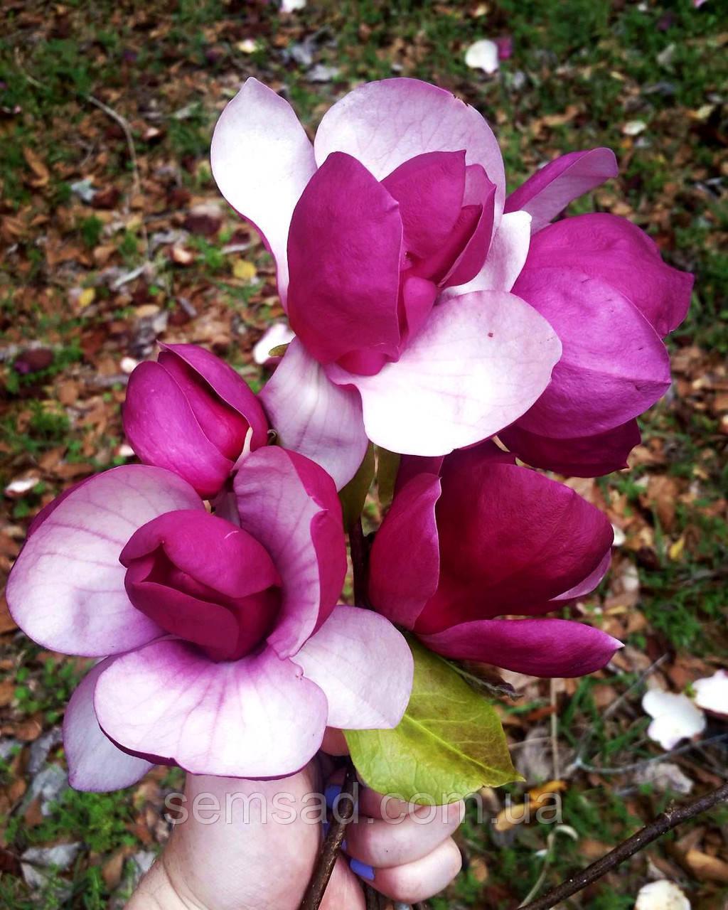 Магнолия суланжа Рустика Рубра \ Magnolia soulangiana 'Rustica Rubra' ( саженцы 2 года)