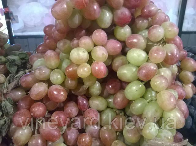 саджанці винограду столового крупноплідного товарного Лівія оптом і в роздріб