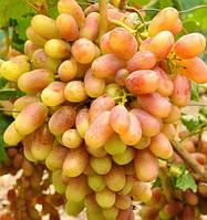 Саженцы винограда Юлиан, столового розового очень раннего