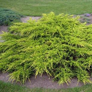 Саженцы Можжевельника среднего Пфитцериана Ауреа (Juniperus x-media Pfitzeriana Aurea)