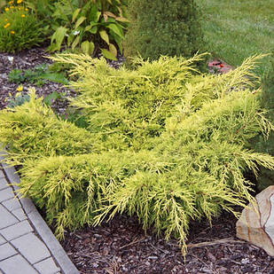 Саженцы Можжевельника среднего Олд Голд (Juniperus x pfitzeriana Old Gold)