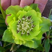 Морозник махровый Ellen Green ( Helleborus Ellen Green ) оптом