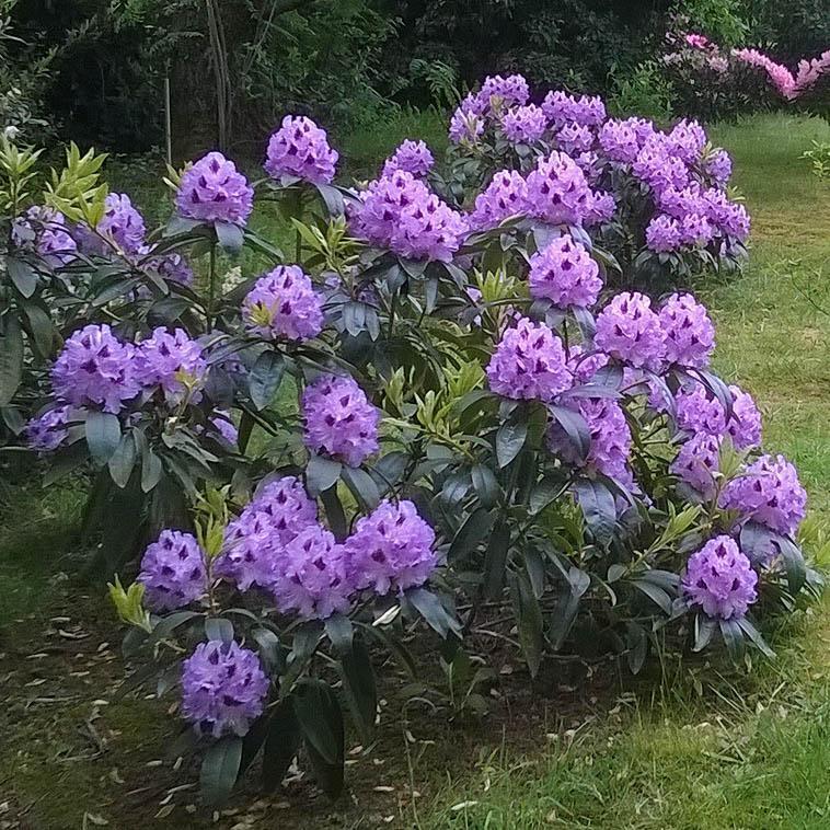 Рододендрон гібридний Peter Alan 3 річний, Рододендрон гібридний Пітер Алан, Rhododendron Peter Alan