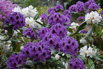 Рододендрон гібридний Peter Alan 3 річний, Рододендрон гібридний Пітер Алан, Rhododendron Peter Alan, фото 3