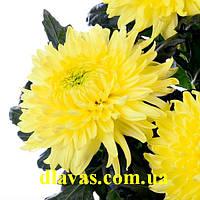 Хризантема крупная  МАГНУМ