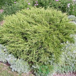 Саженцы Можжевельника казацкого Аркадия(Juniperus sabina Arcadia)