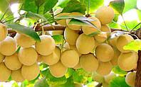 Гинкго билоба (растение), фото 1