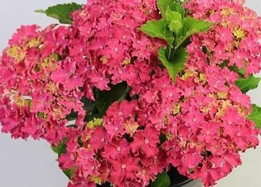Гортензія крупнолиста Curly Sparkle Hot Pink 3 річна, Гортензия Керли Спарк Хот Пинк, Hydrangea macrophylla