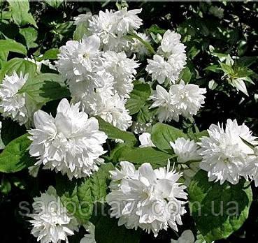 Чубушник, Жасмин садовий  Минесота /Minnesota Snowflake/