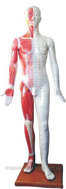 Муляж мужчины с акупунктурными точками, 178см - Все для рефлексотерапии и татуировки в Львове